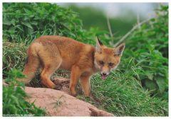 - Fuchs Welpe - ( Halbstarker ) Vulpes vulpes