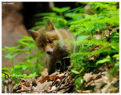 - Fuchs - Welpe Nr, 1 - ( Vulpes vulpes )
