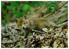 - Fuchs - Welpe Nr. 2 - ( Vulpes vulpes )