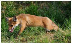 ---- Fuchs Welpe Nr. 3 ---- ( Vulpes vulpes )
