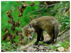 - Fuchs-Welpe Nr. 3 ( Vulpes vulpes )