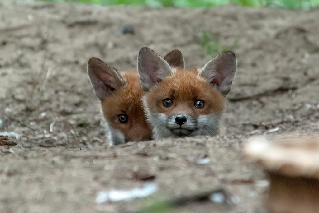 Fuchs Welpen #04