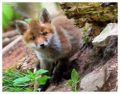 - Fuchs Weple etwas neugierig - ( Vulpes vulpes )