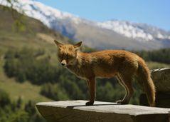 Fuchsfähe