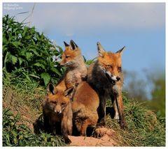 --- Fuchsfehe mit der halben Mannschaft --- ( Vulpes vulpes )