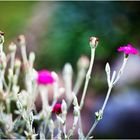 Fuchsia (Farbe)