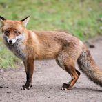Fuchsrüde - Zorro