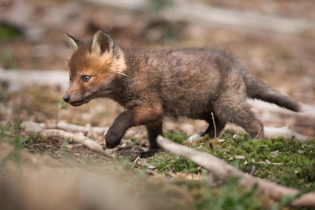 Fuchswelpe auf erster Erkundungstour
