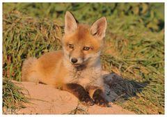 --- Fuchswelpe im Abendlicht --- ( Vulpes vulpes )