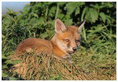--- Fuchswelpe in der Abendsonne --- ( Vulpes vulpes )