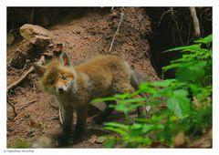 ---- Fuchswelpe ---- ( Vulpes vulpes )