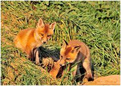 --- Fuchswelpen ... ( Vulpes vulpes )