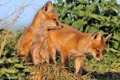 --- Fuchswelpen ---- ( Vulpus vulpus )