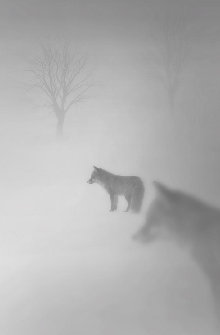 Füchse im Nebel bei Sonnenaufgang
