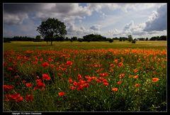 Fünen, Mohnleuchten - Luminous poppies