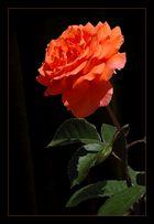 Für alle Rosenliebhaber