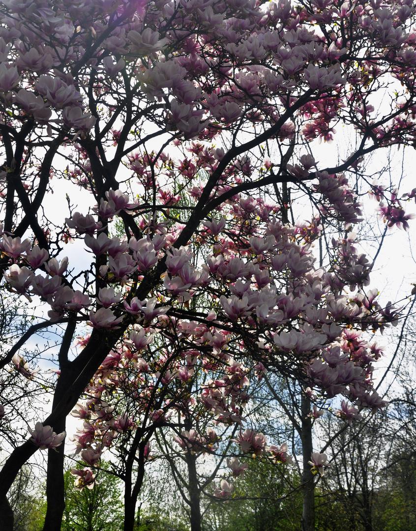Für Dich Almut...hier der Magnolienbaum in Pink......