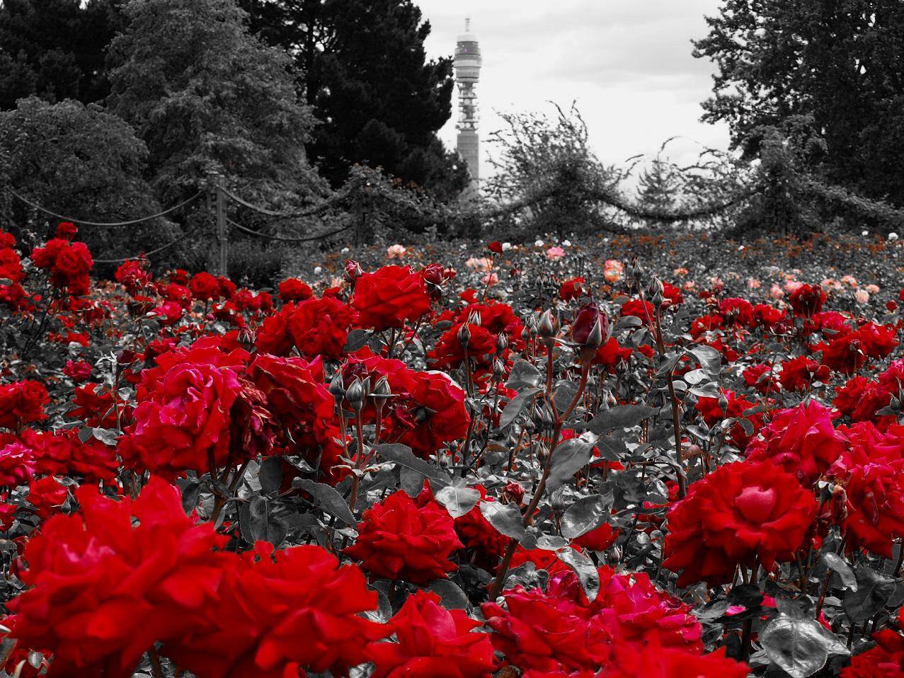 f r dich solls rote rosen regnen foto bild archiv projekte naturchannel monatswettbewerb. Black Bedroom Furniture Sets. Home Design Ideas