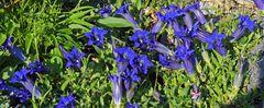 Für die Enzianfreunde ein breites Bild mit extra größeren Blüten