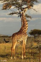 Für die Masai Giraffe ist keine Akazie zu hoch