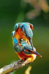 Für die nächste Generation ist gesorgt.... Eisvögel bei der Paarung