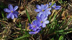 Für diese Aufnahmen der Leberblümchen, Hepatica nobiles bin ich gestern nach Tschechien gefahren...