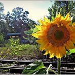 für heute eine Sonnenblume