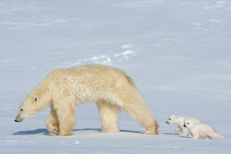 Für kleine Eisbären ist die Wanderung zu den Jagdgründen eine große Strapaze