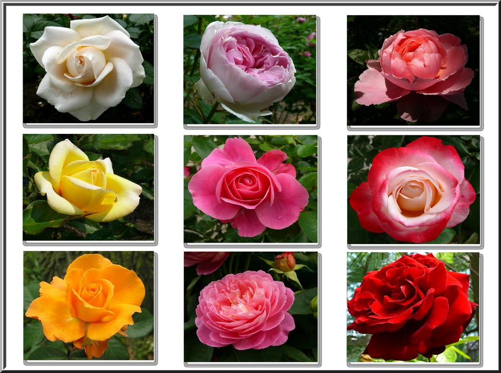 Für Rosenliebhaber