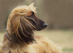 Für Sibille-Gabriele und alle, die Windhunde lieben - Windhund im Wind ;-)