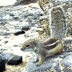 "Fuerteventura ""A-Hoernchen sucht B-Hoernchen"""