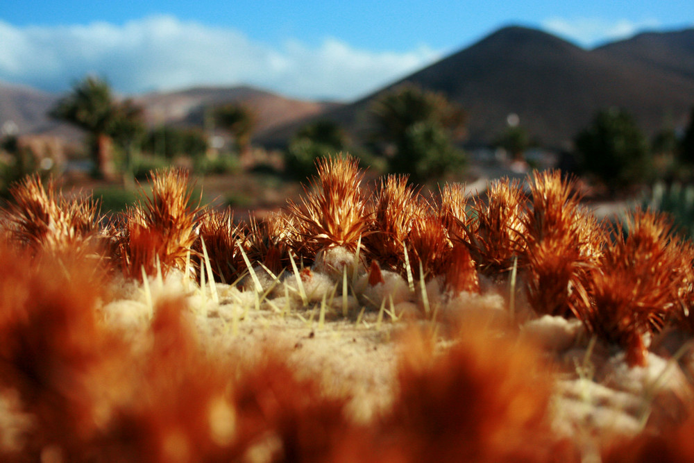 Fuerteventura - Kaktusperspektive