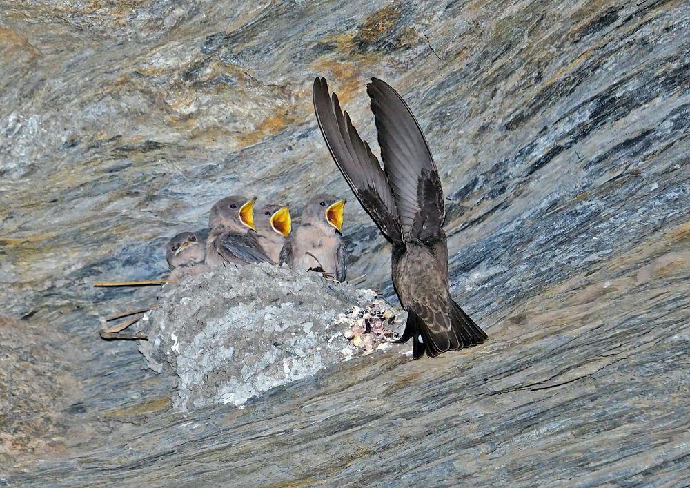 Fütterung der jungen Felsenschwalben (Ptyonoprogne rupestris)! (Foto 3)