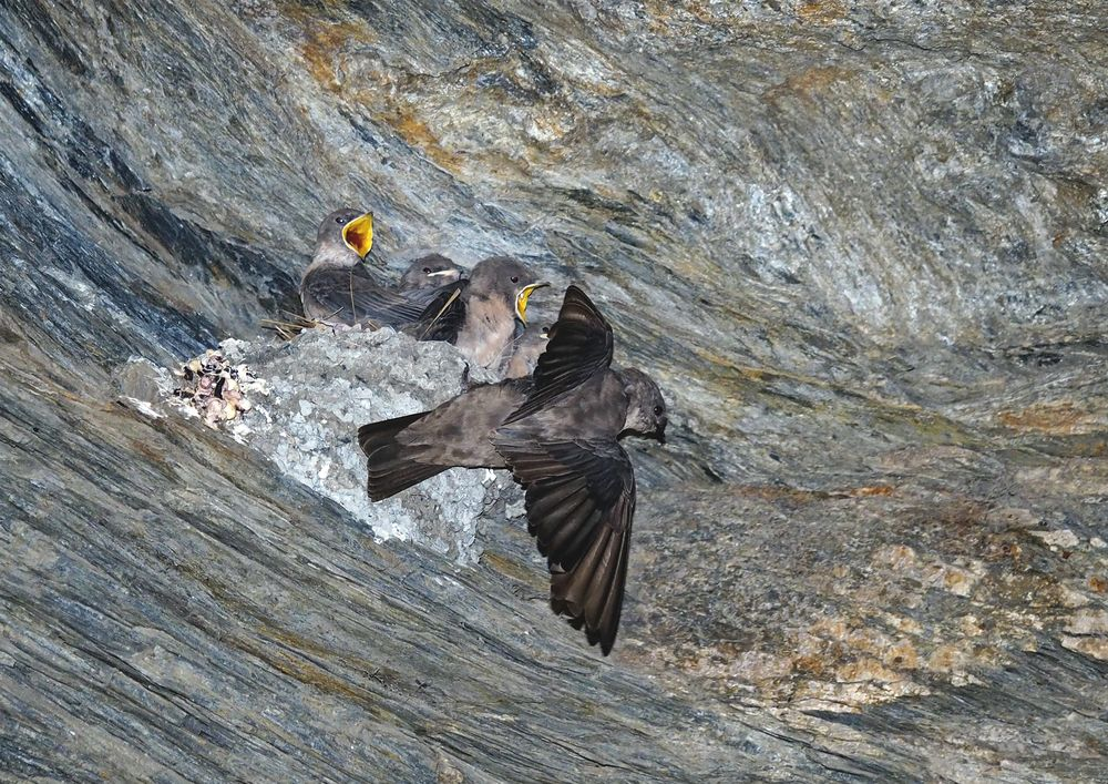 Fütterung der jungen Felsenschwalben (Ptyonoprogne rupestris)! (Foto 7)