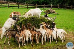 Fütterung der Ziegen im Wildpark Silz