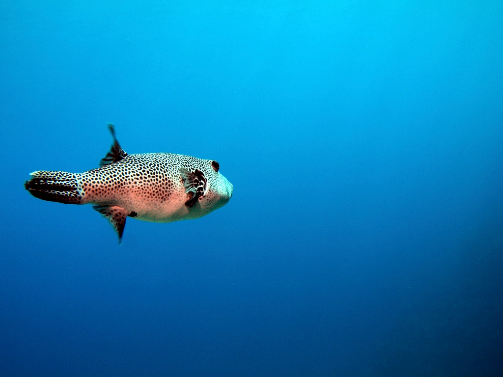 Fugu Fisch