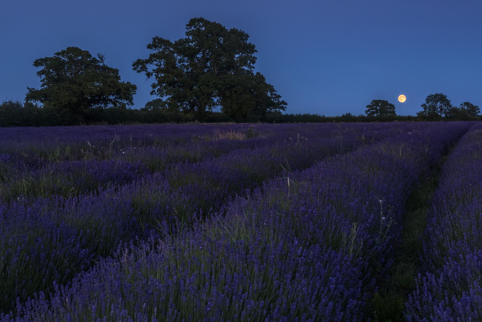 *full moon over lavender fields*