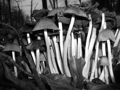 Fungi: black and white