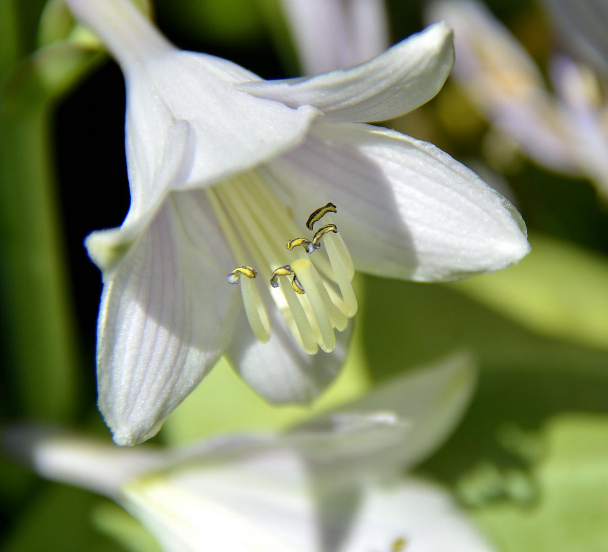 Funkie, Blüte in weiß