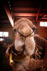 Funny Kamel