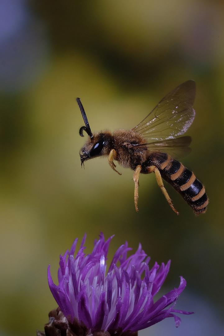 Furchenbiene