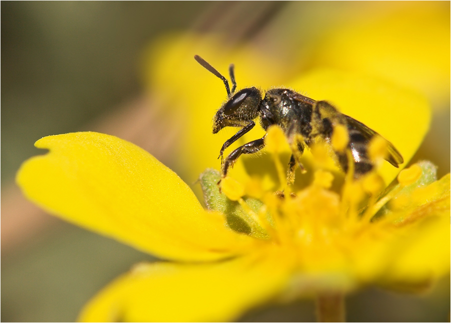 Furchenbiene (Gattung Lasioglossum) 1