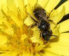 Furchenbiene in der Türkei