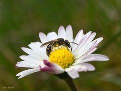 Furchenbiene möglicherweise Lasioglossum villosulum
