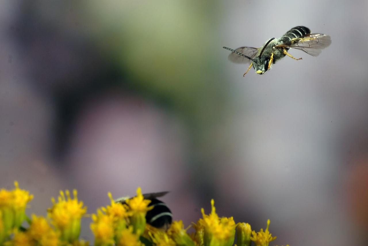 Furchenbienen Männchen