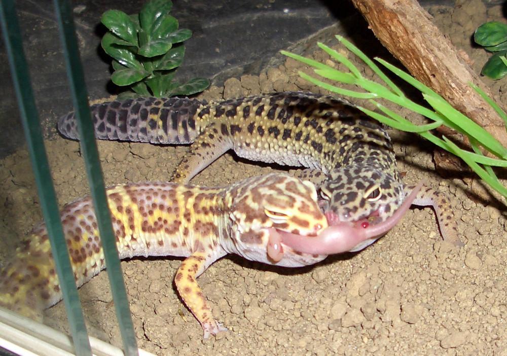 futterneid raubtierfütterung babymaus der leopardgeckos foto