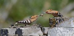 Futterübergabe bei Familie Wiedehopf (Upupa epops) die 2. ...