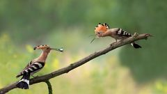 Futterübergabe (eine Blauflügelige Ödlandschrecke) ....