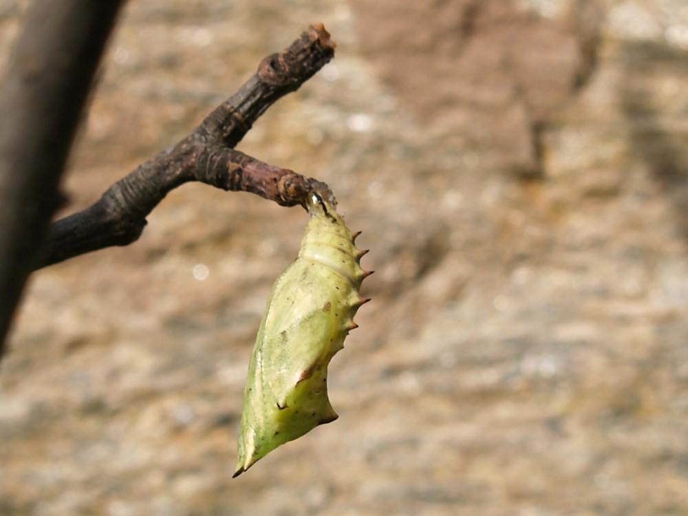 futuro Papilio machaon