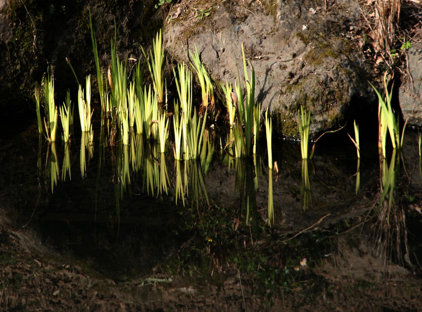 Futurs iris d'eau et leurs reflets